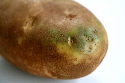 احذروا الجزء الاخضر من البطاطس %D8%A8%D8%B7%D8%A7%D8%B7%D8%A7%201